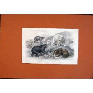 Hand Colored Bear Grisly Brown American Polar Print